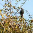 Starling alert and watchful — Stockfoto #40619133