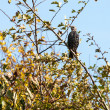 Stock Photo: Starling alert and watchful