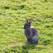 Stock Photo: Hare enjoying sunshine
