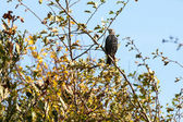 Starling alert and watchful — Stock Photo