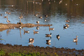 Greylag and Canada Geese at Weir Wood reservoir — Stock Photo
