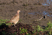 Female Pheasant at Weir Wood Reservoir — Stok fotoğraf