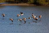 Canada Geese flying over Weir Wood Reservoir — Stock Photo