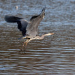 Stock Photo: Grey Heron taking off