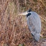 Grey Heron (ardea cinerea) watching and waiting — Stock Photo