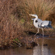Grey Heron (Ardea cinerea) walking out of water — Stock Photo