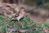 Close-up of a Chaffinch (fringilla coelebs) — Stok fotoğraf