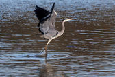 Grey Heron coming in to land — Stock Photo