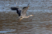Grey Heron taking off — Stock Photo