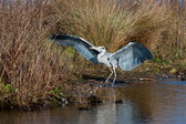 Grey Heron (Ardea cinerea) on the waters edge — Stock Photo