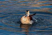 Fulvous Whistling Duck (dendrocygna bicolor) — Stock Photo