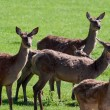 Herd of Red Deer (cervus elaphus) — Stock Photo #40672613