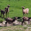 Herd of Red Deer (cervus elaphus) — Stock Photo #40673357