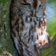 Stock Photo: Tawny Owl (Strix aluco)