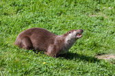 Eurasian Otter (Lutra lutra) in natural habitat — Stock Photo
