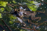 Close-up shot of a Marsh Frog — Stock Photo