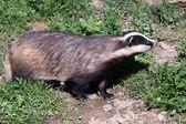 Close-up shot of an European Badger — Zdjęcie stockowe