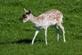 Close-up of a baby Fallow Deer (dama dama) — Stock Photo