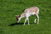 Close-up of a baby Fallow Deer — Stock Photo
