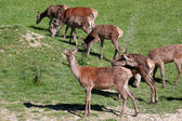 Herd of Red Deer (cervus elaphus) — Stock Photo