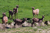 Herd of Red Deer (cervus elaphus) — Stock Photo