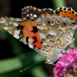 Close-up of a Painted Lady (Vanessa cardui) butterfly — Stock Photo #40685485