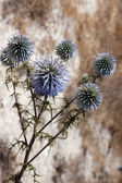 Cyprian Donkey Thistle (onopordum cyprium) — Stock Photo