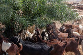 A herd of goats eating an olive tree — Stock Photo