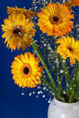 Golden Gerberas (Asteraceae) — Stock Photo