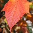 Stockfoto: Close-up Acer rufinerve Snake-bark Maple leaf
