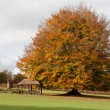 Stockfoto: Beech tree in grounds of Ashdown Park Hotel