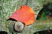 Close-up Acer rufinerve Snake-bark Maple leaf — Stock Photo