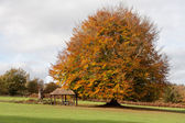 Beech tree in the grounds of the Ashdown Park Hotel — Stock Photo