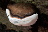 Close up of fungi in The Mens ancient woodland — Stock Photo