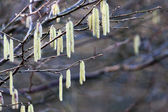 Catkins on Hazel (Corylus avellana) — ストック写真