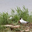 Stock Photo: Black Headed Gull nesting
