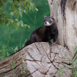 Stock Photo: Polecat-coloured Ferret