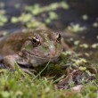 Stock Photo: Marsh Frog
