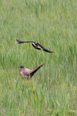 Lapwing attacking Pheasant near nesting site — Foto Stock