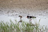 Oystercatcher with chick — Stock Photo