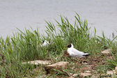 Black Headed Gull nesting — Stock Photo