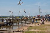 Black headed gulls scavenging for food — Stock Photo