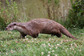 Otter walking along the waters edge — Stock Photo