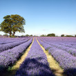 Lavender field in Banstead Surrey — Stock Photo #40984081
