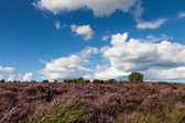 Field of Heather near Scarborough — Stock Photo