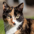 Stock Photo: Close-up head shoulders tortoiseshell female cat