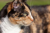 Close-up head shoulders tortoiseshell female cat — Stock Photo
