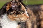 Close-up head shoulders tortoiseshell female cat — Stock Photo