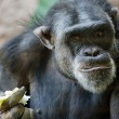 Chimpanzee sitting in a zoo — Stock Photo