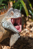 Iguana with mouth open — Stock Photo